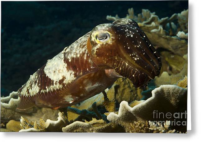 Broadclub Cuttlefish, Papua New Guinea Greeting Card