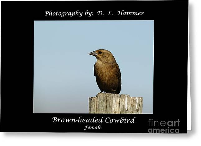 Brown-headed Cowbird Greeting Card by Dennis Hammer