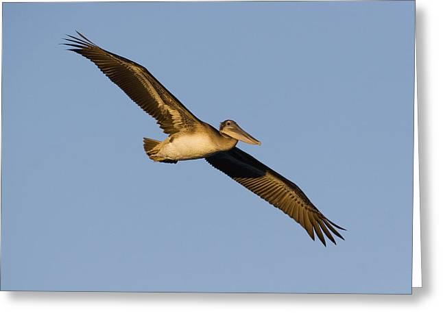Brown Pelican Juvenile Flying Santa Greeting Card by Sebastian Kennerknecht