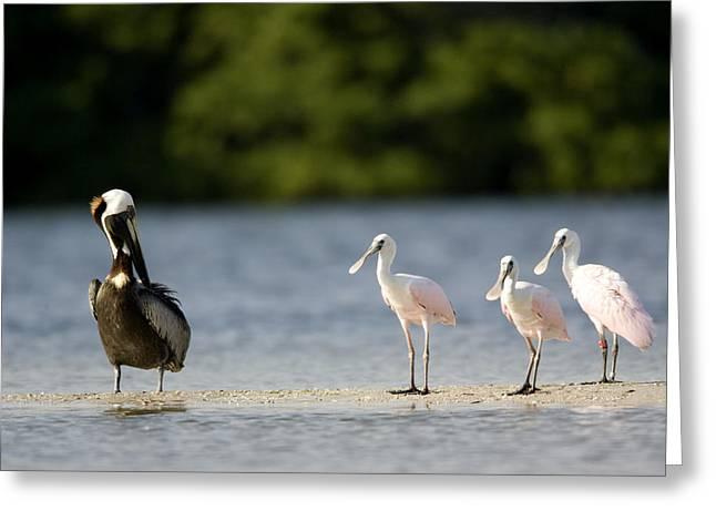 Brown Pelican Pelecanus Occidentalis Greeting Card by Tim Laman