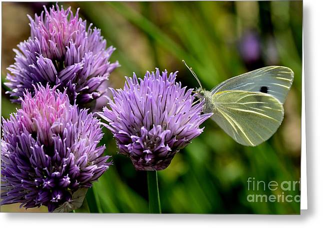 Butterfly On Chives Greeting Card by Thomas R Fletcher
