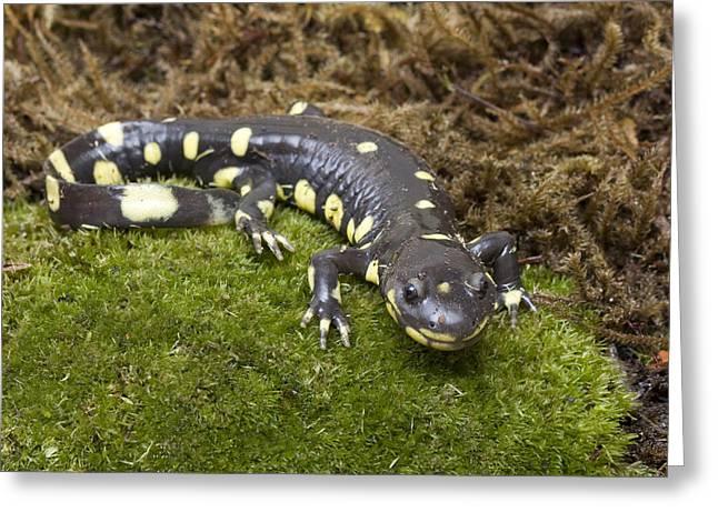 California Tiger Salamander  Monterey Greeting Card by Sebastian Kennerknecht