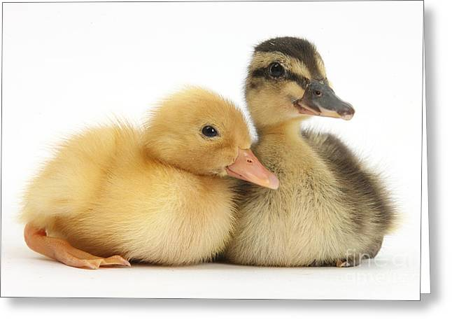 Call Duckling And Mallard Duckling Greeting Card by Mark Taylor