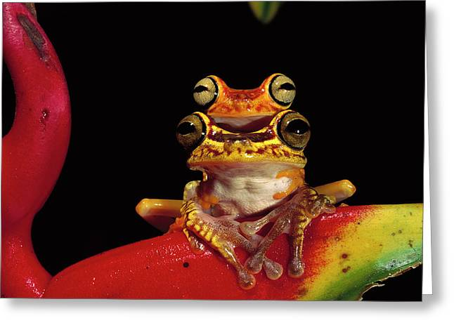 Chachi Tree Frog Hyla Picturata Pair Greeting Card by Pete Oxford
