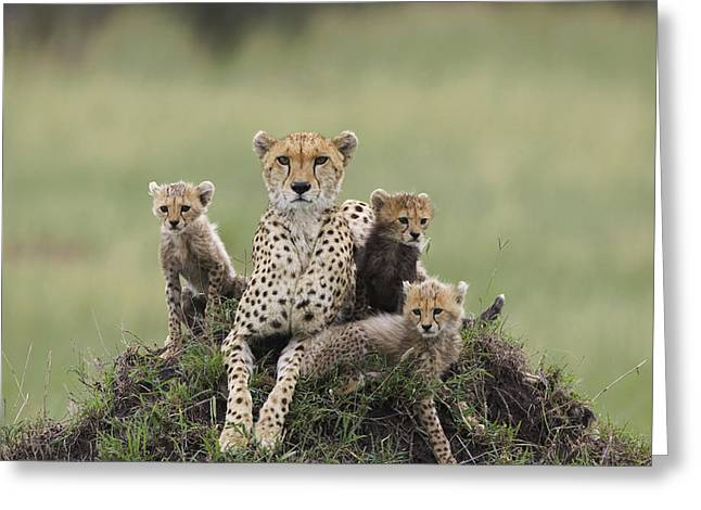 Cheetah Acinonyx Jubatus Mother Greeting Card by Suzi Eszterhas