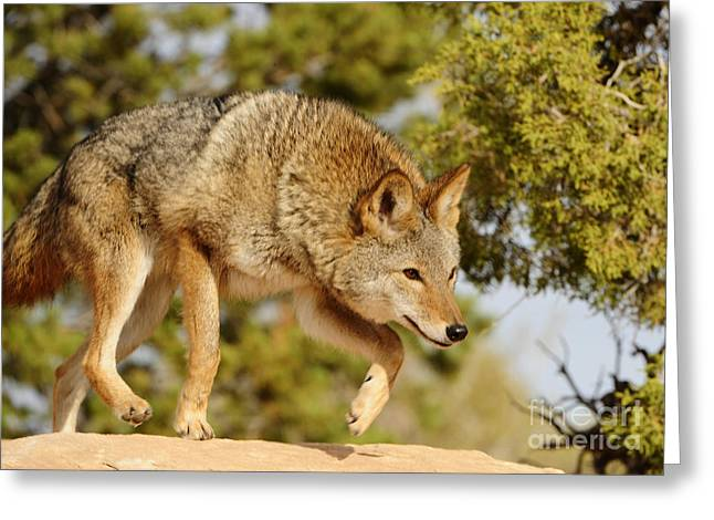 Coyote Hunting Greeting Card by Dennis Hammer