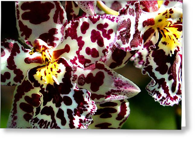 Cribet Exotic Orchids Greeting Card by C Ribet