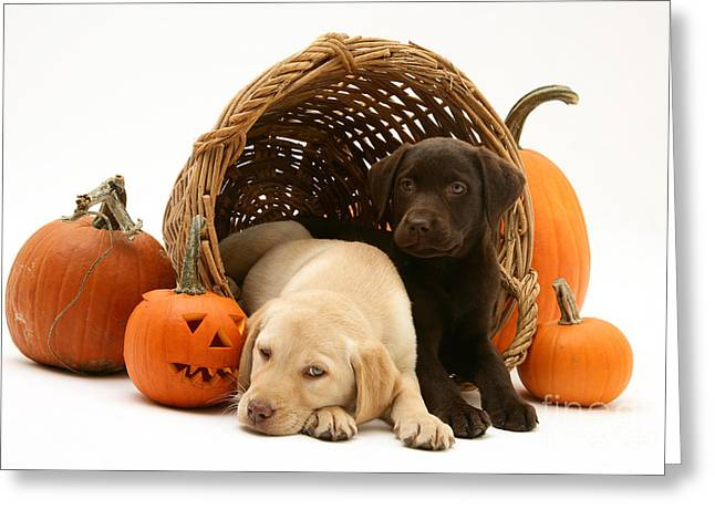 Dogs In Basket With Pumpkins Greeting Card by Jane Burton