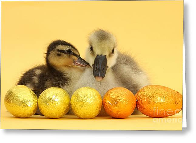 Embden X Greylag Gosling And Mallard Greeting Card by Mark Taylor