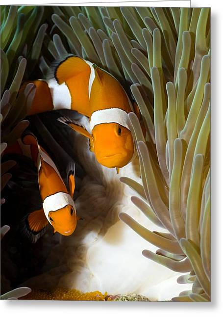 False Clown Anemonefish Greeting Card