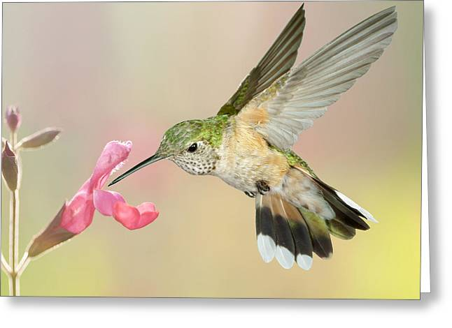 Female Broadtail Hummingbird Greeting Card by Gregory Scott