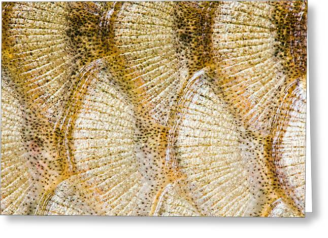 Fish Scales Background Greeting Card by Odon Czintos