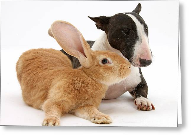 Flemish Giant Rabbit And Miniature Bull Greeting Card by Mark Taylor