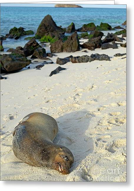 Galapagos Sea Lion Sleeping On Beach Greeting Card by Sami Sarkis