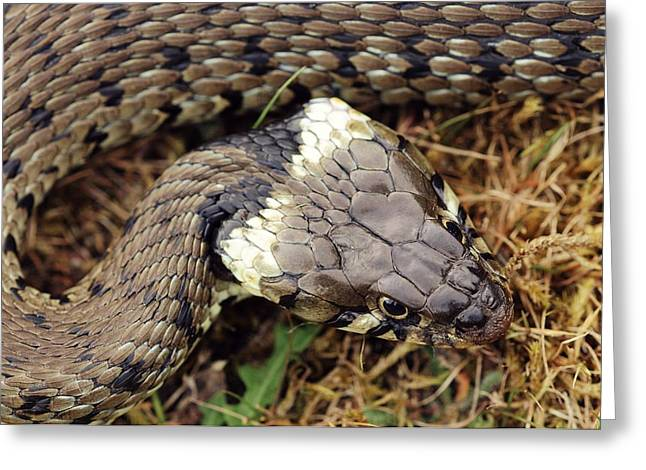 Grass Snake Greeting Card by Colin Varndell