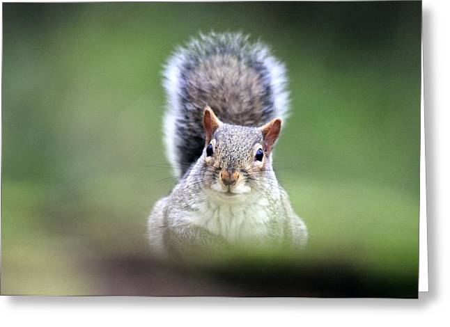 Grey Squirrel Greeting Card by Colin Varndell
