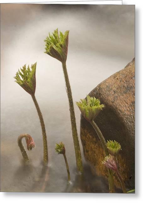 Indian Rhubarb Darmera Peltata Greeting Card by Phil Schermeister