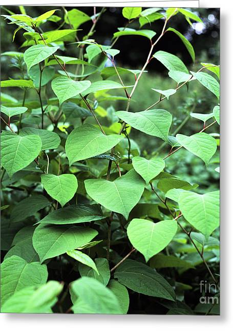 Japanese Knotweed Greeting Card by Sheila Terry