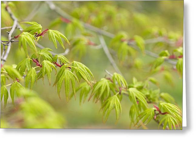 Japanese Maple (acer Palmatum) Greeting Card by Adrian Bicker