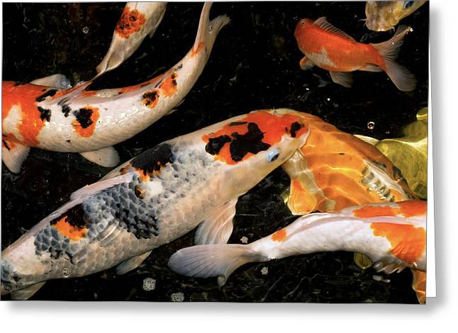 Koi Carp Greeting Card by Victor Habbick Visions