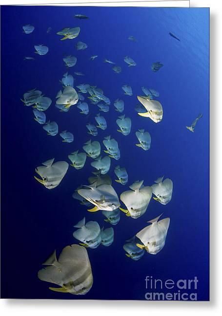 Large School Of Batfish, Christmas Greeting Card