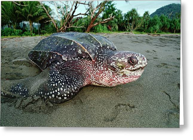 Leatherback Sea Turtle Dermochelys Greeting Card by Mike Parry