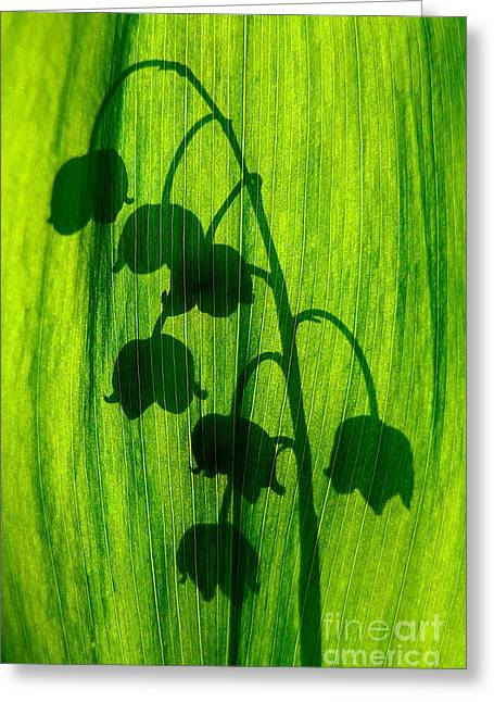 Lily Of The Valley Greeting Card by Odon Czintos