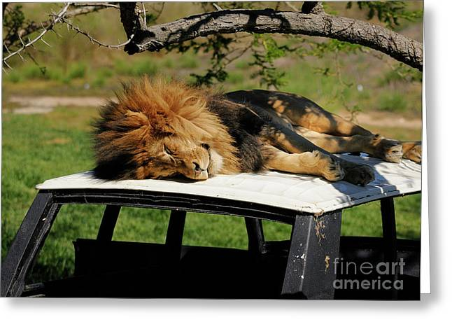 Lion Greeting Card by Marc Bittan
