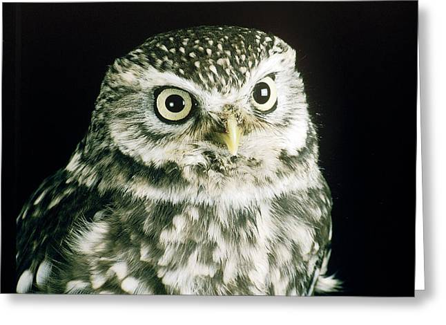 Little Owl Greeting Card by David Aubrey