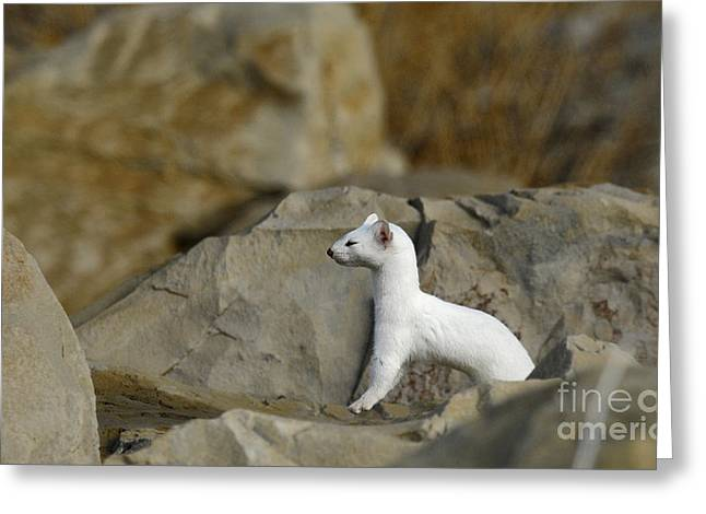 Long Tailed Weasel Greeting Card by Dennis Hammer