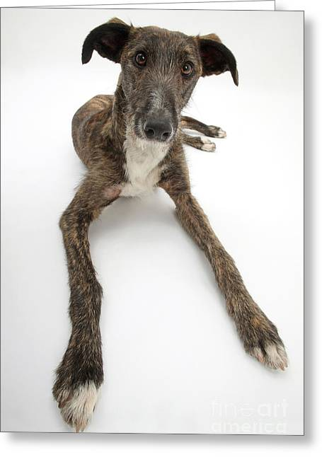 Lurcher Dog Greeting Card by Mark Taylor