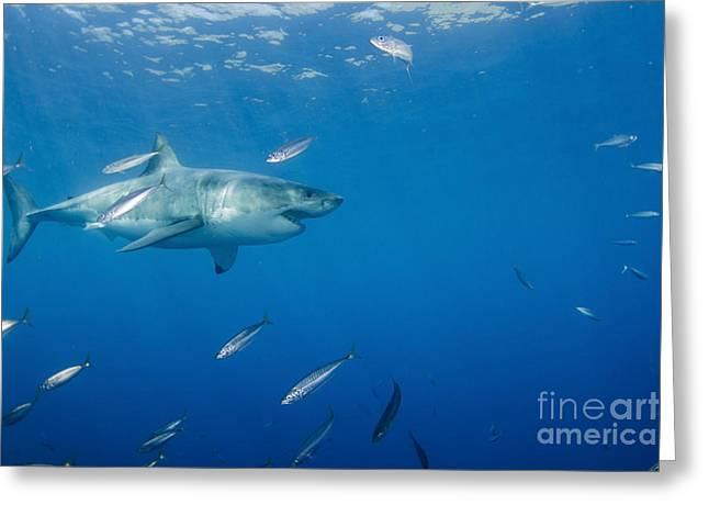 Male Great White Shark And Bait Fish Greeting Card by Todd Winner