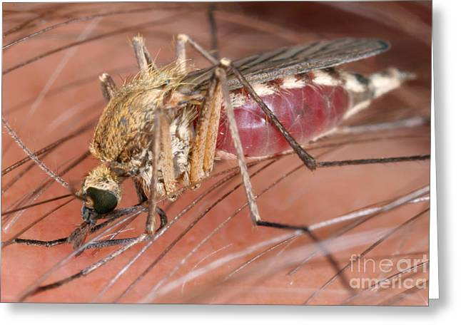 Mosquito Biting A Human Greeting Card by Ted Kinsman