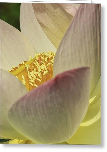 Nelumbo 'pink And Yellow' Greeting Card