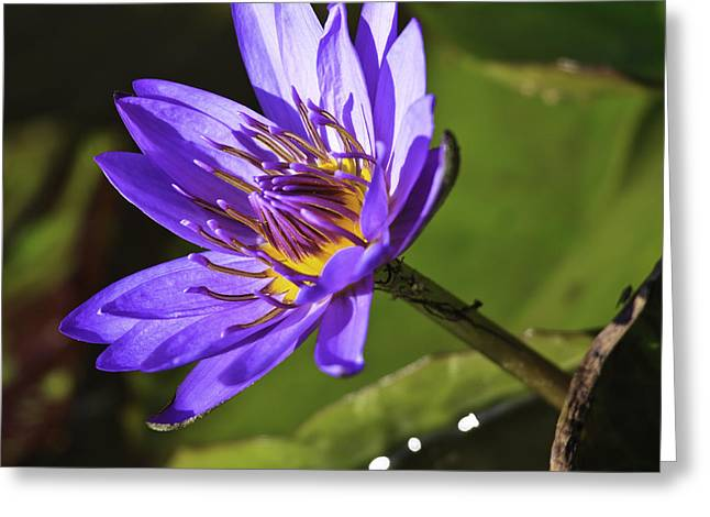 Nymphaea 'panama Pacific' Greeting Card
