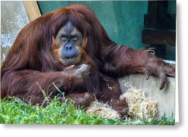 Orangutan Greeting Card by Brian Stevens