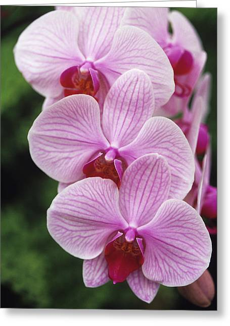 Orchid Flowers Greeting Card by Duncan Smith