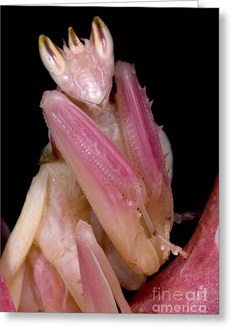Orchid Mantis Greeting Card by Dant� Fenolio