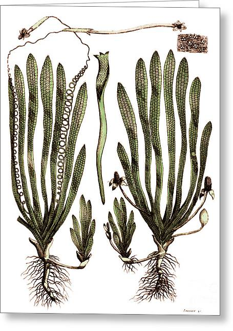 Page From Darwins Botanic Garden Greeting Card by Science Source