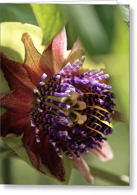 Passion Flower (passiflora Sp.) Greeting Card
