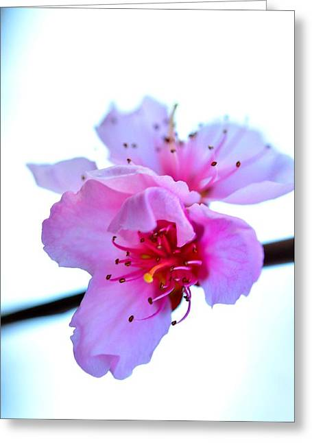 Greeting Card featuring the photograph Peach Blossom by Puzzles Shum