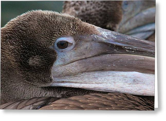 Pelican Greeting Card by Paul Marto