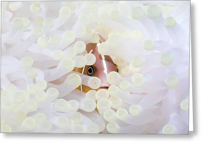Pink Anemonefish Sheltering Greeting Card by Georgette Douwma