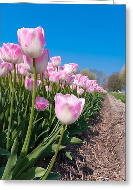 Greeting Card featuring the photograph Pink Tulips by Hans Engbers
