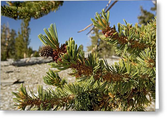 Pinus Longaeva Greeting Card by Bob Gibbons