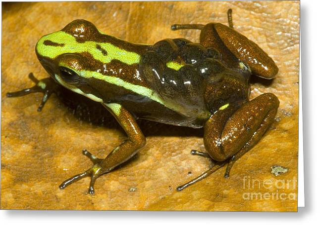 Poison Frog With Eggs Greeting Card by Dante Fenolio