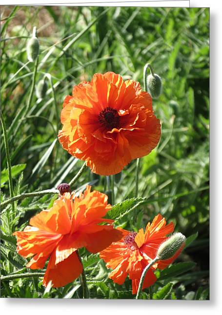 Greeting Card featuring the photograph Poppy by Rebecca Overton