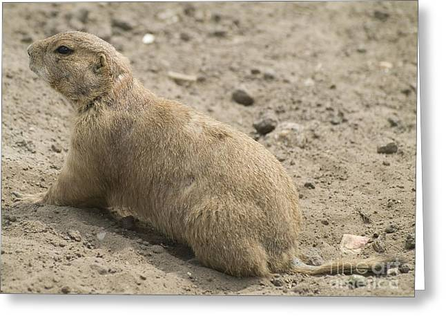 Prairie Dog Greeting Card by Odon Czintos