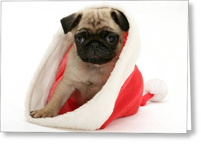 Pug Puppy Greeting Card by Jane Burton