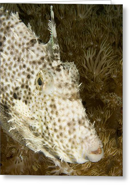 Radial Leatherjacket Filefish Greeting Card